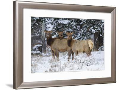 Rocky Mountains, Wyoming. Elk, Cervus Elaphus, Females in Snow-Larry Ditto-Framed Photographic Print
