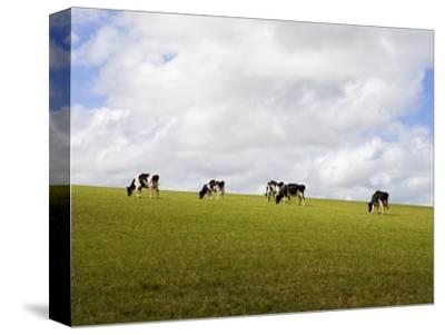 Friesian Dairy Cows Grazing