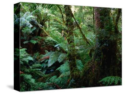 Trees, Tree Fern and Moss in the Dense, Wet Rainforest, Otway National Park, Australia