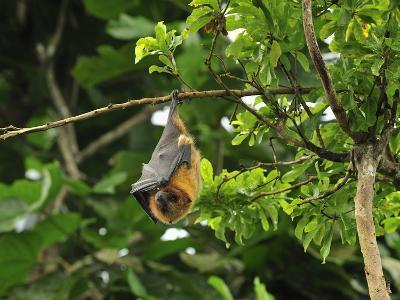 Rodrigues Flying Fox or Fruit Bat (Pteropus Rodricensis), Rodrigues Island, Mauritius-Thomas Marent-Photographic Print