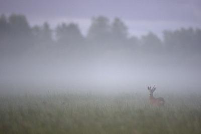 Roe Deer (Capreolus Capreolus) Buck in Wet Meadow at Dawn, Nemunas Delta, Lithuania, June 2009-Hamblin-Photographic Print