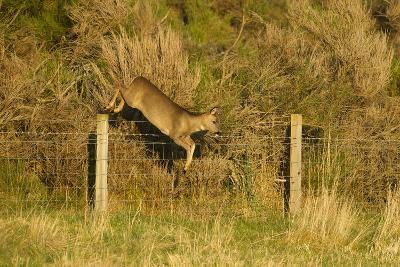 Roe Deer (Capreolus Capreolus) Doe Jumping Stock Fence, Scotland, UK, November 2011-Mark Hamblin-Photographic Print