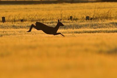 Roe Deer (Capreolus Capreolus) Doe Leaping Through Barley Field in Dawn Light. Perthshire, Scotland-Fergus Gill-Photographic Print