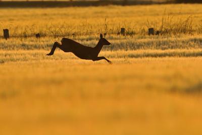https://imgc.artprintimages.com/img/print/roe-deer-capreolus-capreolus-doe-leaping-through-barley-field-in-dawn-light-perthshire-scotland_u-l-q10o41h0.jpg?p=0