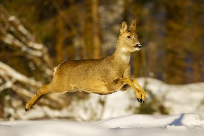 Roe Deer (Capreolus Capreolus) Female Leaping in Snow, Southern Norway, March-Andy Trowbridge-Photographic Print