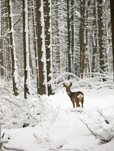 Roe Deer in Snow--Photographic Print