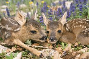 Roe Deer Two Young