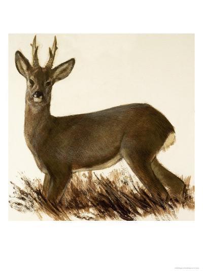 Roe Deer--Giclee Print