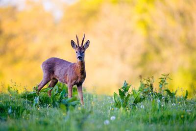 Roe Deer-Don Hooper-Photographic Print