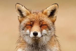 Zen Fox Red Portrait by Roeselien Raimond