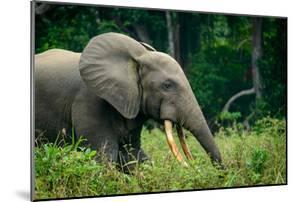 African forest elephant. Odzala-Kokoua National Park. Congo by Roger De La Harpe