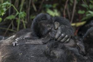 Mountain gorilla baby. Bwindi Impenetrable Forest. Uganda by Roger De La Harpe