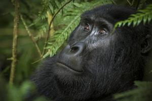 Mountain gorilla. Bwindi Impenetrable Forest. Uganda by Roger De La Harpe