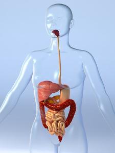 Digestive System, Artwork by Roger Harris
