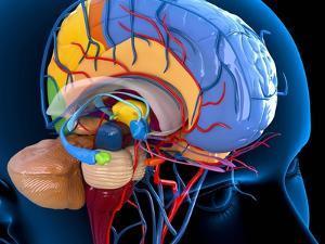 Human Brain Anatomy, Artwork by Roger Harris