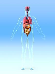 Male Internal Organs, Artwork by Roger Harris