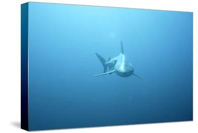 Front View of a Tiger Shark (Galeocerdo Cuvieri)