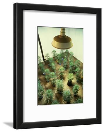 Marijuana Plants under Grow Light