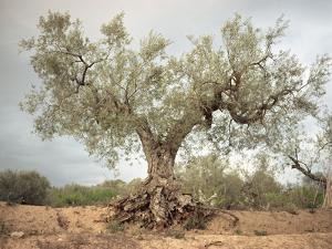 An Old Olive Tree by Roland Andrijauskas