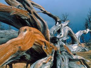 Dead tree, Bryce Canyon National Park, Utah, USA by Roland Gerth