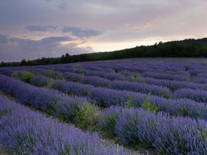 Lavender Field at Sunset by Roland Gerth