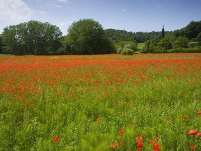 Poppy field, Chiusi, Italy