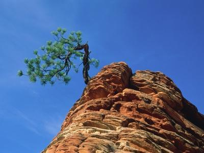 Tree on cliff, Zion National Park, Utah, USA