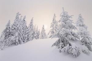 Winter Landscape, Trees, Snow-Covered Series, Nature, Vegetation by Roland T.