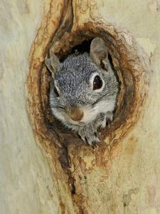 Arizona Grey Squirrel, Ilooking out of Hole in Sycamore Tree, Arizona, USA by Rolf Nussbaumer