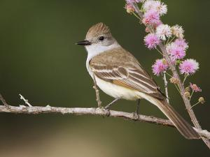 Ash-Throated Flycatcher, Uvalde County, Hill Country, Texas, USA by Rolf Nussbaumer