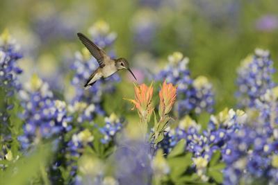 Black-chinned Hummingbird female feeding, Hill Country, Texas, USA