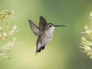 Black-Chinned Hummingbird in Flight Feeding on Texas Buckeye, Uvalde County, Hill Country by Rolf Nussbaumer