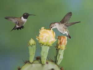Black-Chinned Hummingbird, Uvalde County, Hill Country, Texas, USA by Rolf Nussbaumer