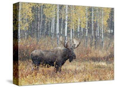 Bull Moose in Snowstorm with Aspen Trees in Background, Grand Teton National Park, Wyoming, USA