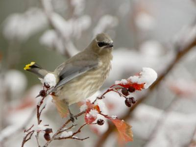 Cedar Waxwing, Young on Hawthorn with Snow, Grand Teton National Park, Wyoming, USA