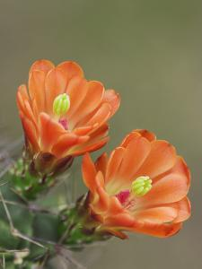 Claret Cup Cactus Blooming, Uvalde County, Hill Country, Texas, USA by Rolf Nussbaumer