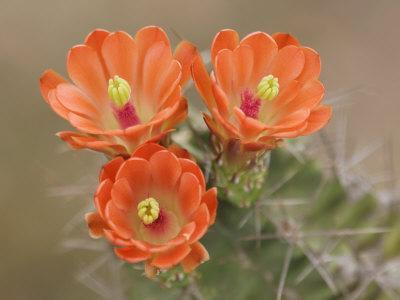 Claret Cup Cactus Flowers, Hill Country, Texas, USA