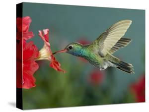 Hummingbird Feeding on Petunia, Madera Canyon, Arizona, USA by Rolf Nussbaumer