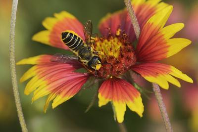Leafcutter bee feeding on Indian Blanket, Texas, USA
