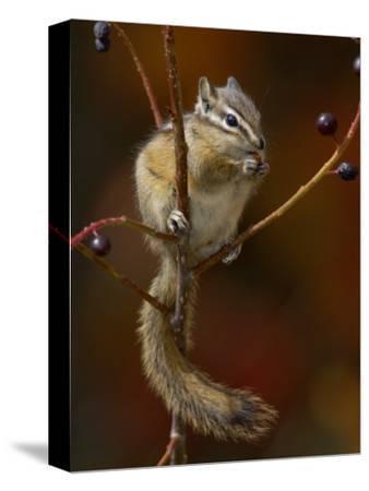 Least Chipmunk Eating Berries, Grand Teton National Park, Wyoming, USA