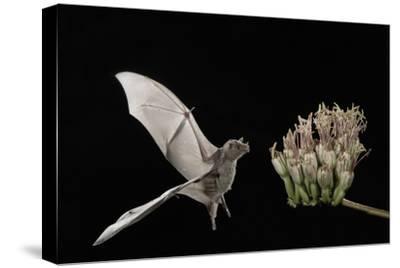 Lesser Long-Nosed Bat (Leptonycteris Curasoae) Flying