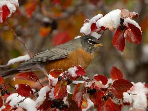 Male American Robin in Black Hawthorn, Grand Teton National Park, Wyoming, USA by Rolf Nussbaumer