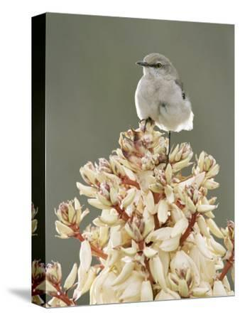 Mockingbird, Perched on Yucca Flower, Texas, USA