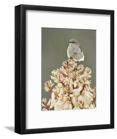 Mockingbird, Perched on Yucca Flower, Texas, USA