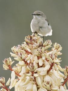 Mockingbird, Perched on Yucca Flower, Texas, USA by Rolf Nussbaumer
