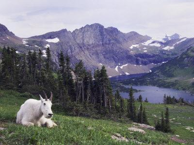 Mountain Goat Adult with Summer Coat, Hidden Lake, Glacier National Park, Montana, Usa, July 2007