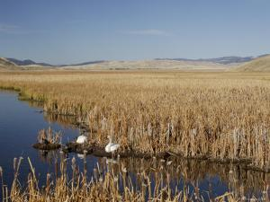 National Elk Refuge, Wyoming, USA, with Pair of Trumpeter Swans at Nest (Cygnus Cygnus Buccanitor} by Rolf Nussbaumer