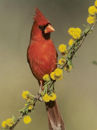 Northern Cardinal on Blooming Huisache, Lake Corpus Christi, Texas, USA