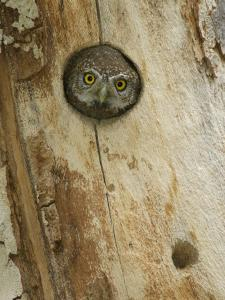 Northern Pygmy Owl, Adult Looking out of Nest Hole in Sycamore Tree, Arizona, USA by Rolf Nussbaumer
