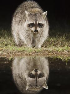 Northern Raccoon, Uvalde County, Hill Country, Texas, USA by Rolf Nussbaumer